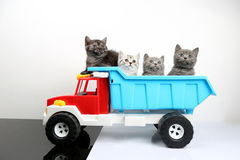 British Shorthair kittens in a truck stock photos