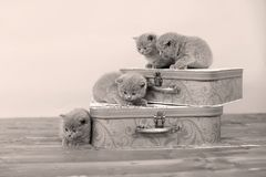 British Shorthair kittens and two suitcases Stock Photo