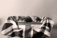 British Shorthair kittens and UK flag Stock Images