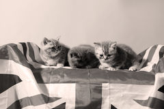 British Shorthair kittens and the UK flag Royalty Free Stock Photos