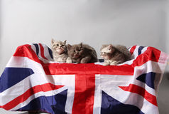 British Shorthair kittens and the UK flag. Cute British Shorthair kittens sitting on a stool covered by the Union Jack flag Royalty Free Stock Photos