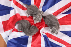 British Shorthair kittens and UK flag Royalty Free Stock Images