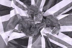 British Shorthair kittens and UK flag Royalty Free Stock Image