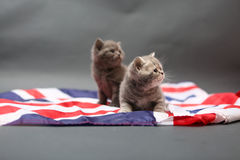 British Shorthair kittens and UK flag Stock Photos