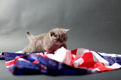 British Shorthair kittens and UK flag Royalty Free Stock Photography