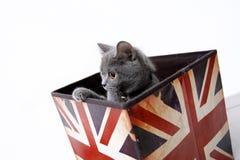 British shorthair Royalty Free Stock Images