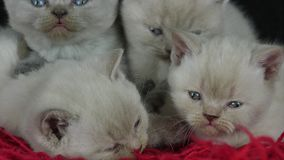 British Shorthair kittens sleeping on a red fluffy blanket stock video