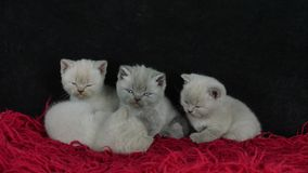 British Shorthair kittens sleeping on a red fluffy blanket stock video footage