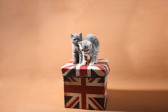 British Shorthair kittens. Up on a Union Jack box against an orange background, studio shoot Stock Photos