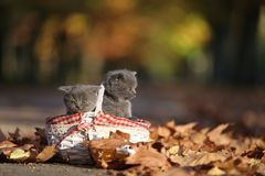 British Shorthair kittens walk among leaves Royalty Free Stock Photography