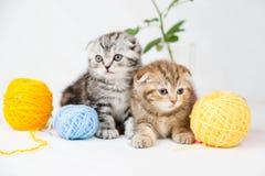 British Shorthair kittens. On white background Stock Photography