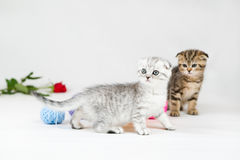 British Shorthair kittens Stock Photography