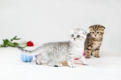 British Shorthair kittens Stock Photography