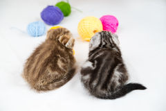 British Shorthair kittens. On white background Royalty Free Stock Photography