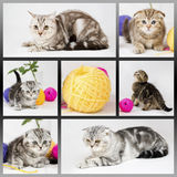British shorthair kittens. On white background. Collage with cats. Pets in the studio Royalty Free Stock Photo