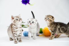 British Shorthair kittens. On white background. Pets in the studio Royalty Free Stock Image