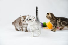 British Shorthair kittens Stock Image