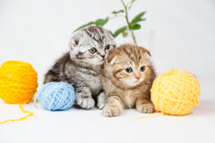 British Shorthair kittens. On white background. Pets in the studio Stock Images