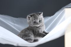 British Shorthair kittens on a white net, cute portrait. Adorable kittens blue and lilac, British Shorthair kittens sitting on a white net stock image