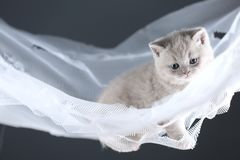 British Shorthair kittens on a white net, cute portrait. Adorable kittens blue and lilac, British Shorthair kittens sitting on a white net stock photos