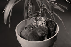 British Shorthair kittens in a Yucca plant pot Stock Images