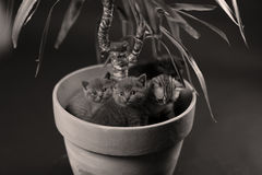 British Shorthair kittens in a Yucca plant pot Royalty Free Stock Image