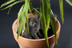 British Shorthair kittens in a Yucca plant pot Stock Image