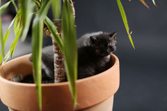 British Shorthair kittens in a Yucca plant pot Stock Photos