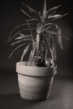 British Shorthair kittens in a Yucca plant pot Royalty Free Stock Photo