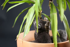 British Shorthair kittens in a Yucca plant pot Royalty Free Stock Photos