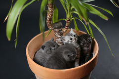 British Shorthair kittens in a Yucca plant pot Royalty Free Stock Photography