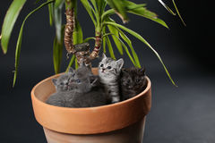 British Shorthair kittens in a Yucca plant pot Stock Photography