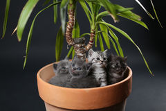 British Shorthair kittens in a Yucca plant pot Stock Photo