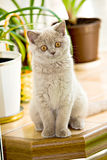 British Shorthair kitty Stock Photo