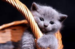 British Shorthair kitty. Picture of british shorthair kitty in a wooden basket Royalty Free Stock Photos