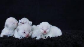British Shorthair lilac kittens, black background
