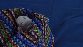 British Shorthair lilac kittens, new born, blue background