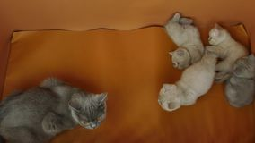 New born kittens with their mom cat, orange background