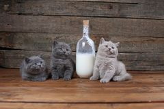 British Shorthair lilac new born kitten near a bottle of milk. British Shorthair new born kitten near a bottle of milk, wooden background, portrait royalty free stock photography