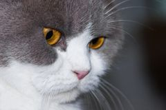 British Shorthair looking Stock Images