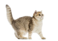 British shorthair looking alert Stock Photography