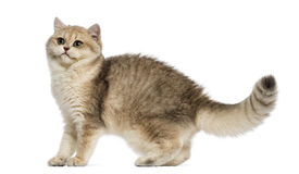 British shorthair looking alert, Royalty Free Stock Photography