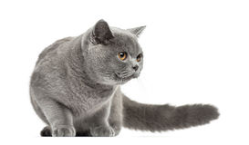 British Shorthair looking away, 7 months old. Isolated on white Royalty Free Stock Photos