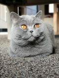 British shorthair looking up in a family environment royalty free stock photos
