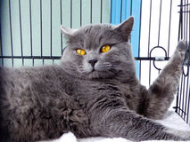 British shorthair Royalty Free Stock Photo
