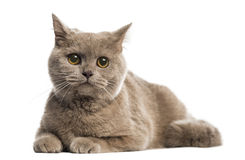 British shorthair lying Royalty Free Stock Photo