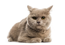 British shorthair lying Royalty Free Stock Photography