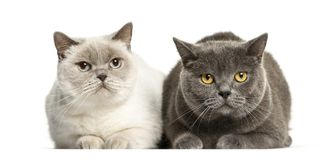 British Shorthair lying in front of white background. Isolated on white royalty free stock photography
