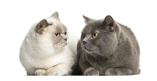 British Shorthair lying in front of white background. Isolated on white royalty free stock photo