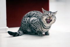 British Shorthair male Royalty Free Stock Photos